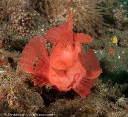 BD-090928-Lembeh-9284879-Rhinopias-eschmeyeri.-Condé.-1977-[Eschmeyer's-scorpionfish].jpg